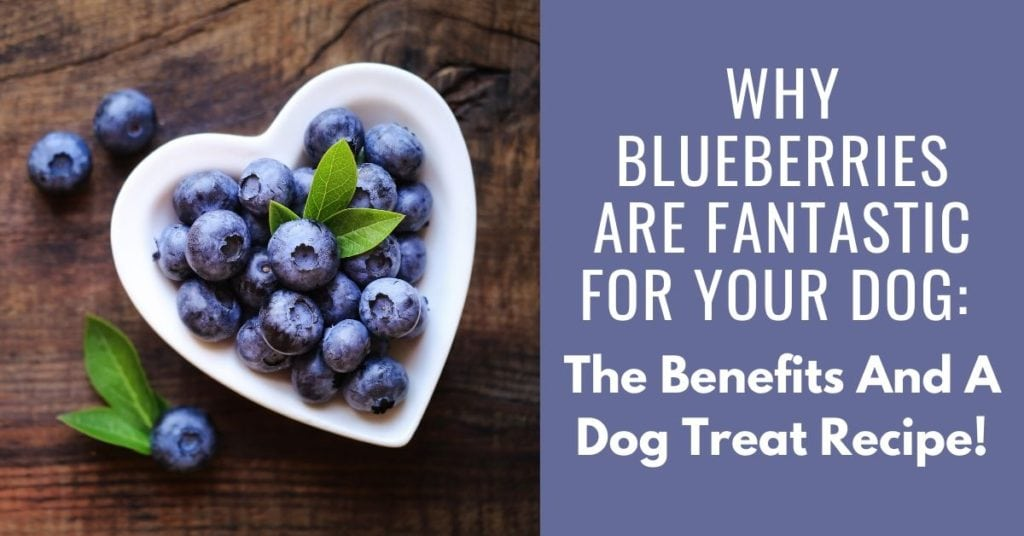 why blueberries are fantastic for your dog - the benefits and a dog treat recipe
