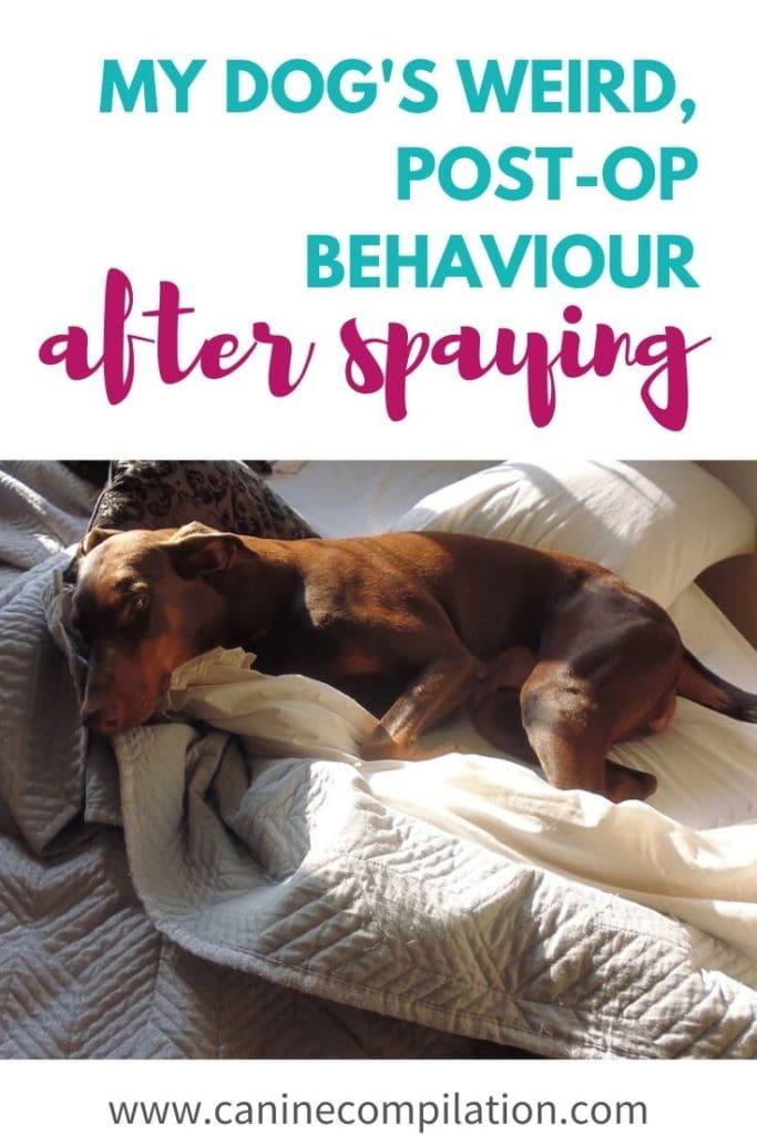 my dog's weird, post-op behaviours after spaying