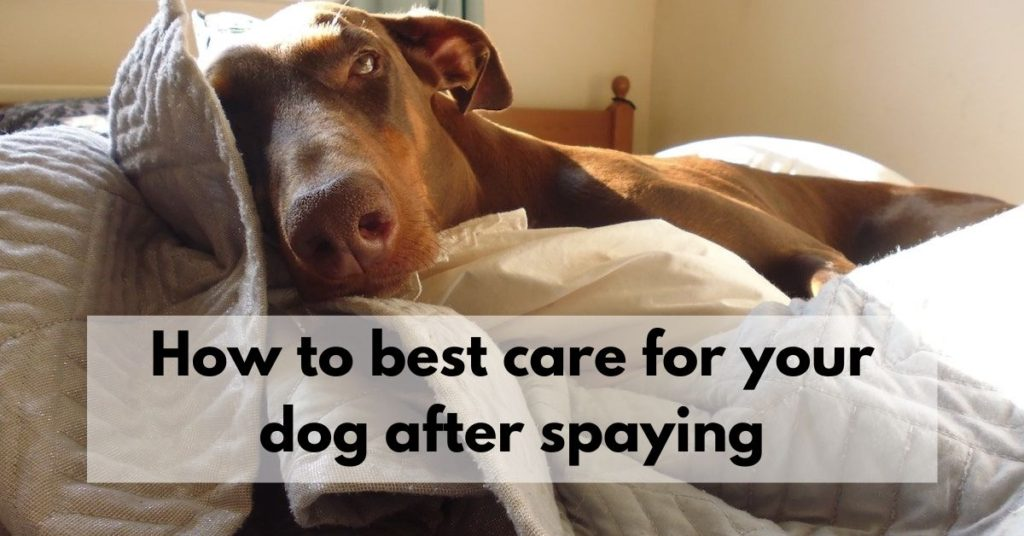 How to best care for your dog after spaying