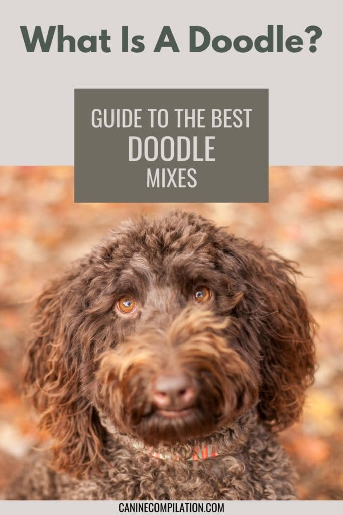 An image of a doodle dog with text - What is a doodle? Guide to the best doodle dogs