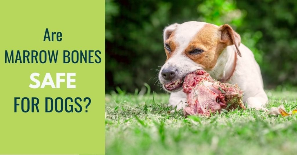 IMAGE OF A DOG EATING A BONE with text: are marrow bones safe for dogs?