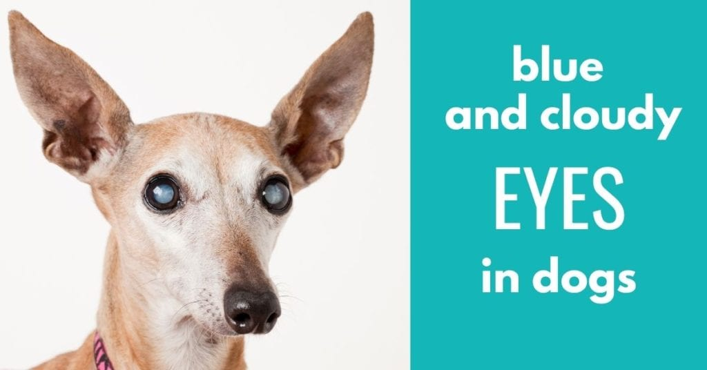 image of old dog with text blue and cloudy EYES in dogs