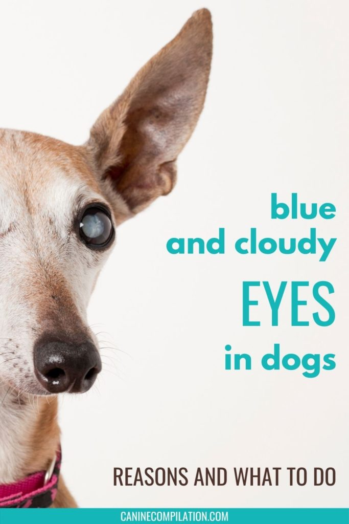 Image of old dog and text: blue and cloudy eyes in dogs, reasons and what to do