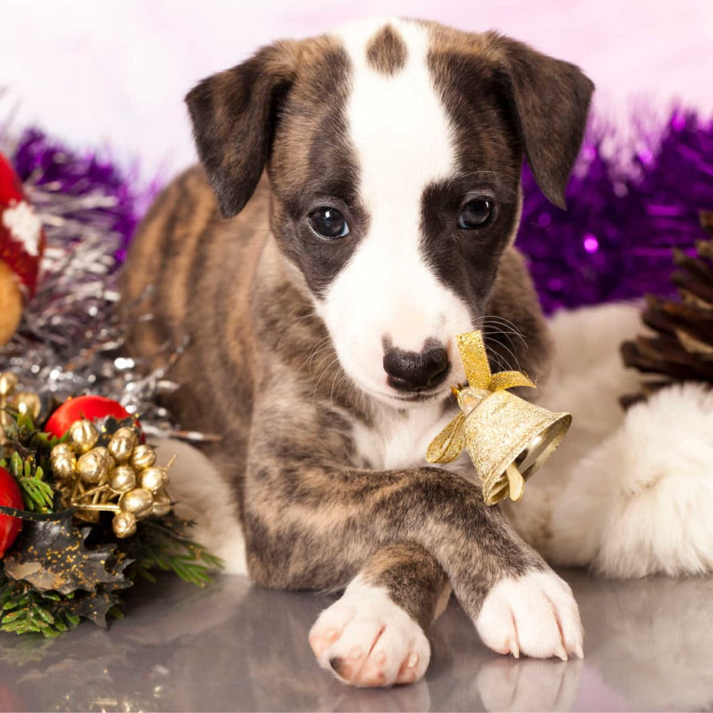 image of a puppy at Christmas
