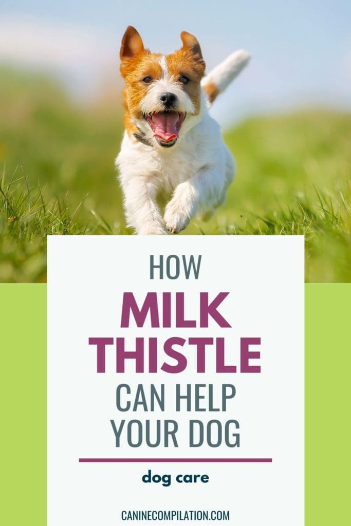 image of a dog running with the text 'How milk thistle can help your dog'
