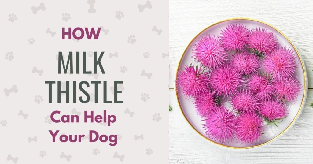 picture of thistle flowers and text 'How milk thistle can help your dog'