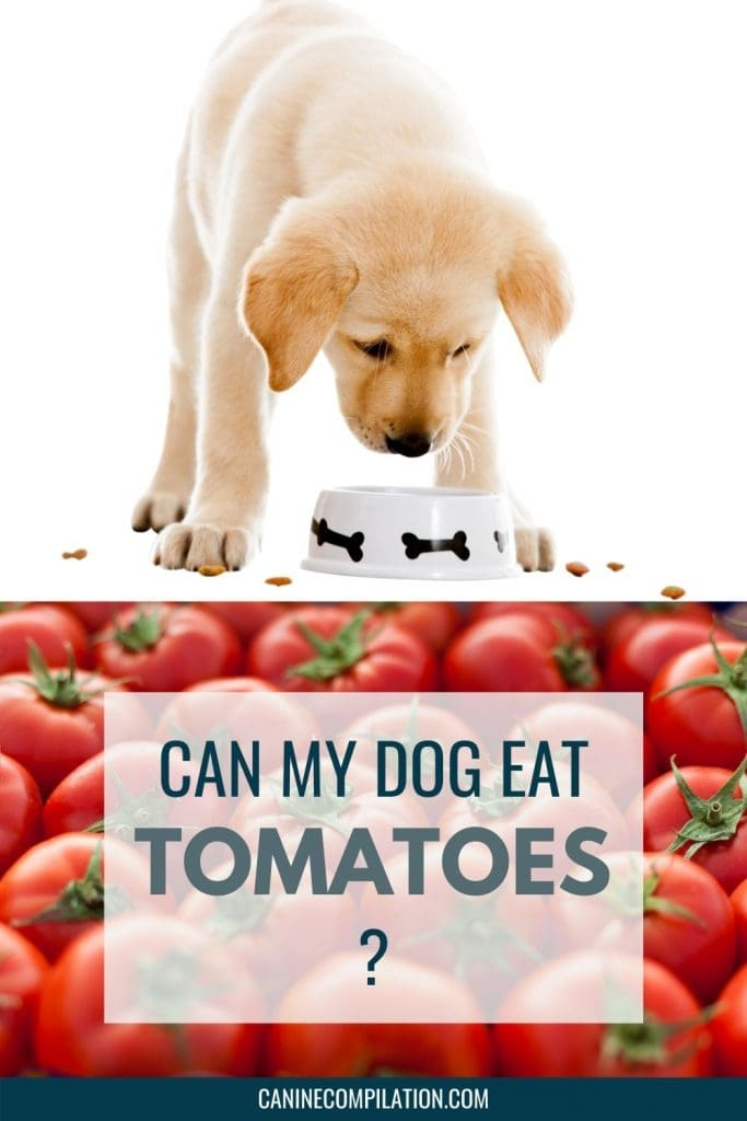 image of a dog and a tomato plant, with text 'Can dogs eat tomatoes?'