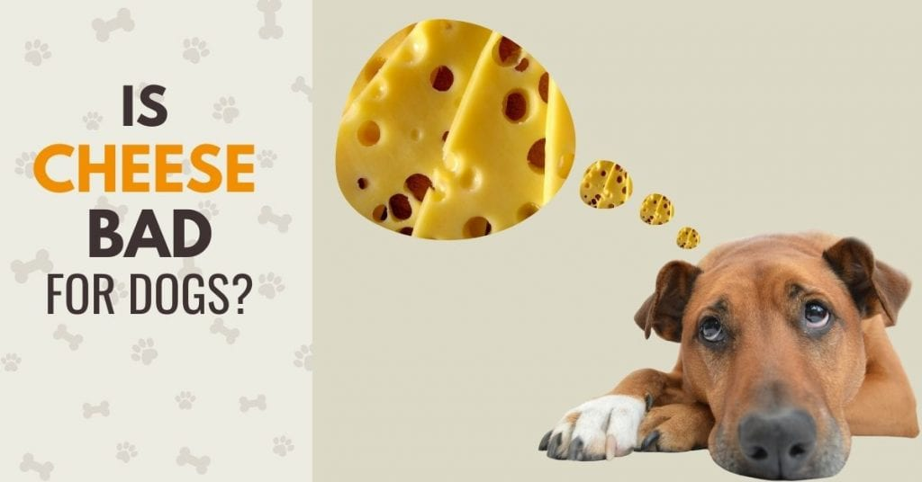 IMAGE OF A DOG THINKING ABOUT CHEESE with teh text Is cheese bad for dogs?