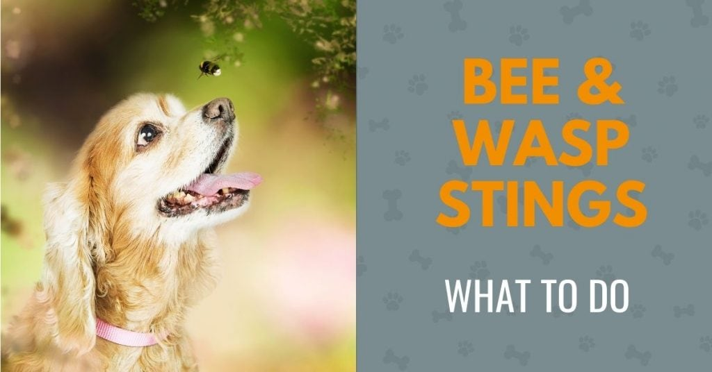 picture of a dog looking at a bee with the text - bee and wasp stings in dogs, what to do