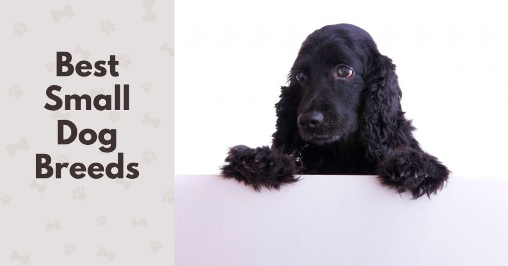 PHOTO OF a Cocker Spaniel with text - Best small dog breeds