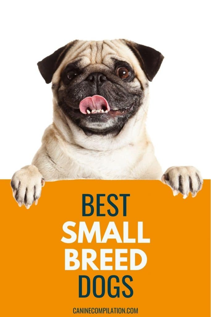 PHOTO OF a pug dog with text - Best small dog breeds