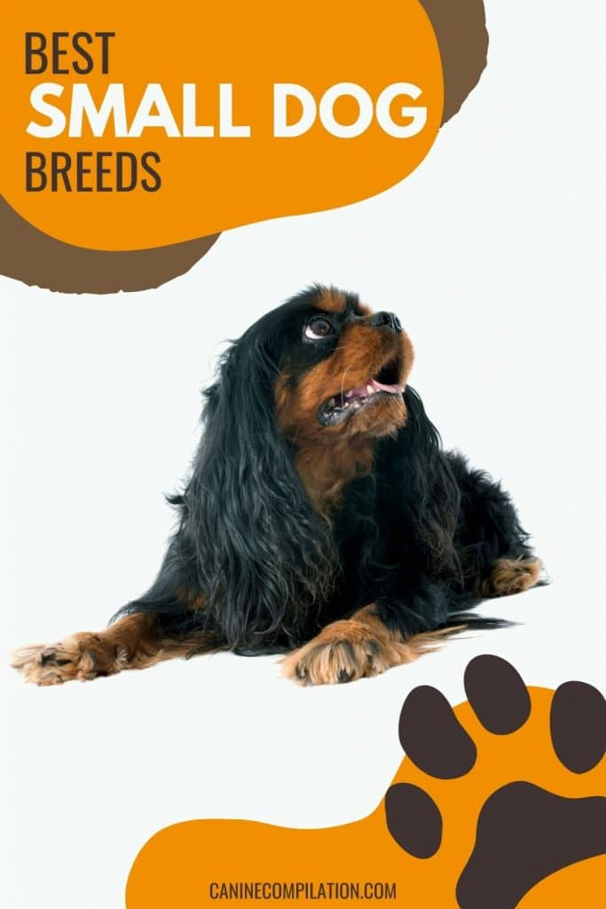 PHOTO OF a Spaniel with text - Best small dog breeds