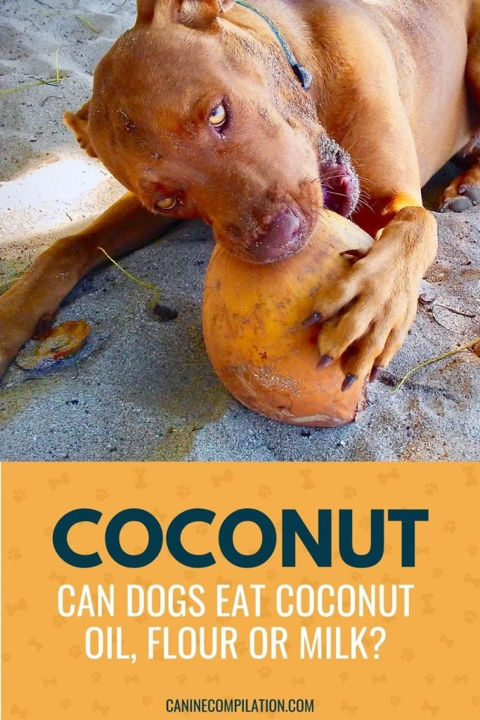 A photo of a dog eating a coconut with the text - coconut, which parts are OK for dogs?