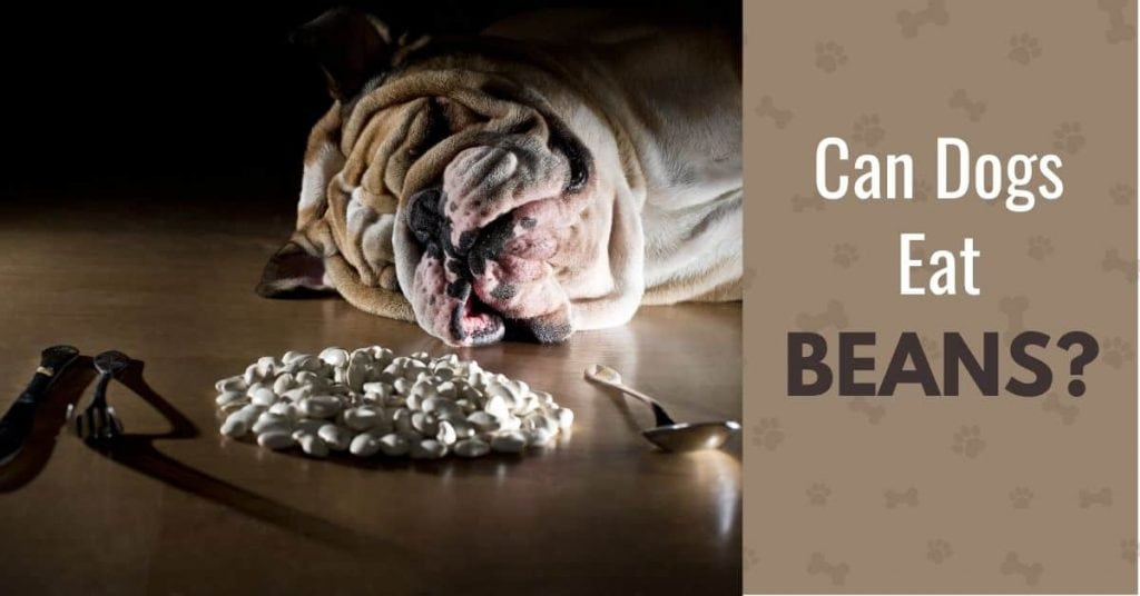photo of a dog with a pile of beans and knife and fork, plus text: Can dogs eat beans?