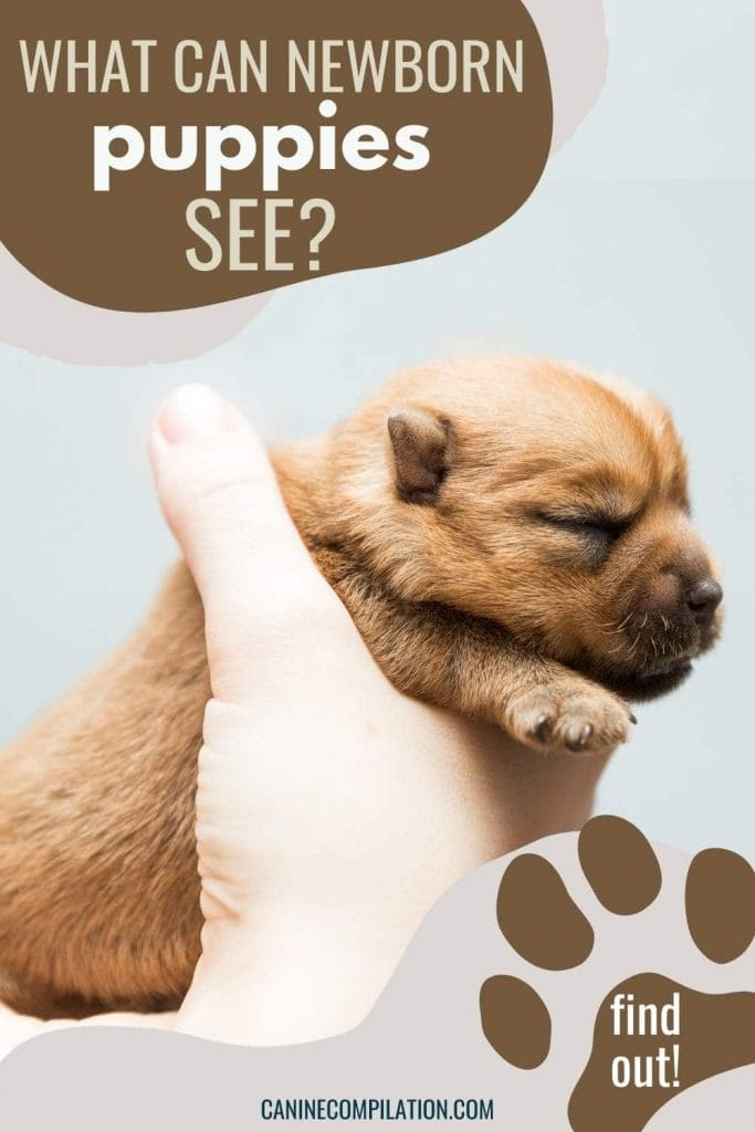 picture of a newborn puppy with text- when do puppies open their eyes?