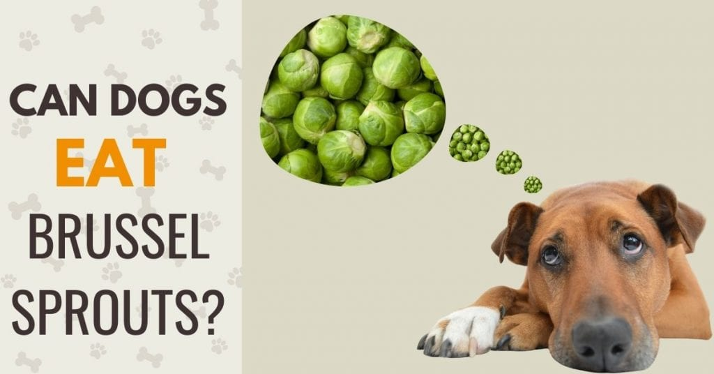 photo of a dog with text - can dogs eat brussel sprouts?