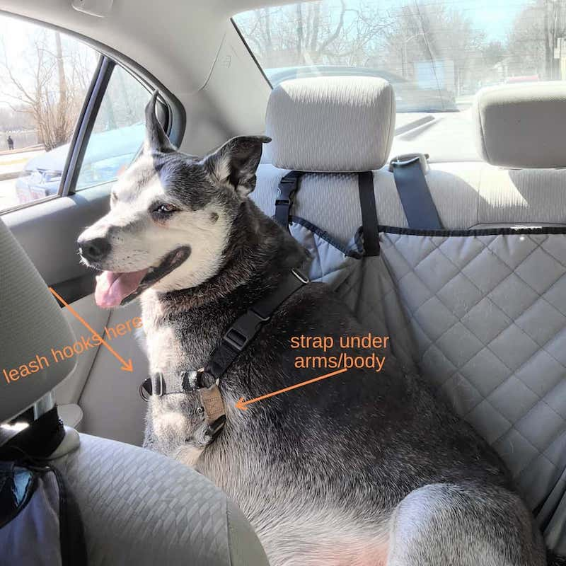 dog with a harness in a car