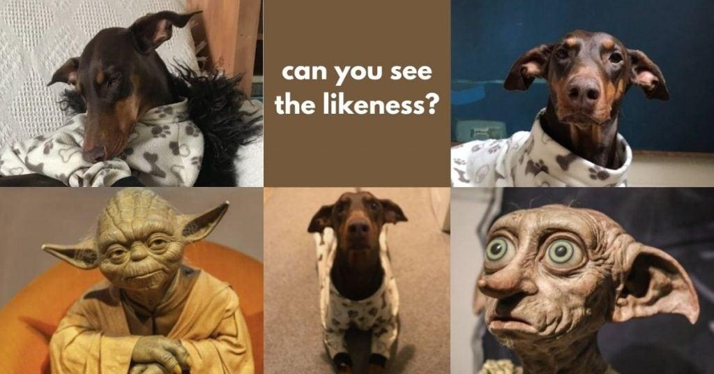 my dog, Dobby and Yoda, who look the same