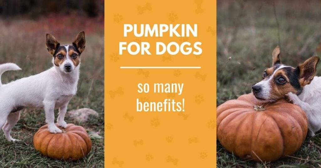 pumpkin for dogs - a dog with a pumpkin